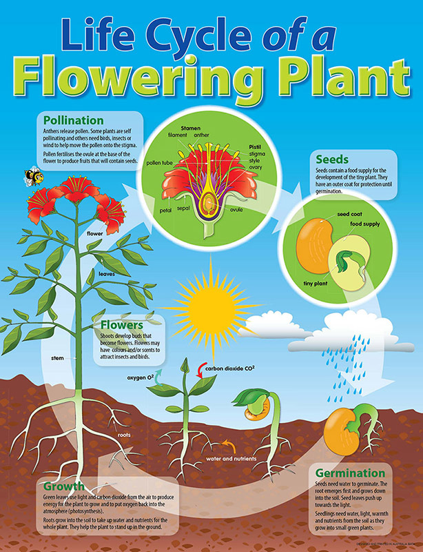 Life Cycle Poster Plant