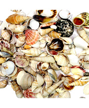 Sea Shells - Farmed Assortment 1kg
