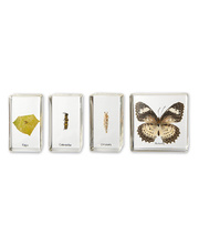 Mini Beasts - Butterfly Life Cycle