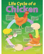 Life Cycle Poster - Chicken