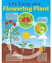 Life Cycle Poster - Plant
