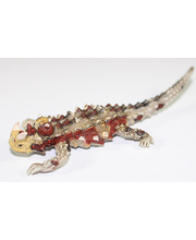 Australian Animal Replica - Thorny Devil 10cm